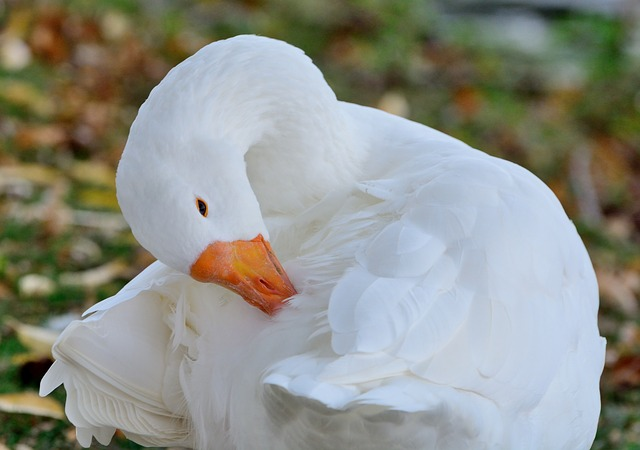 goose-pulling-out-feathers